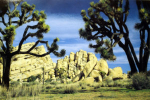Joshua Trees and Rocks at the National Park (postcard)
