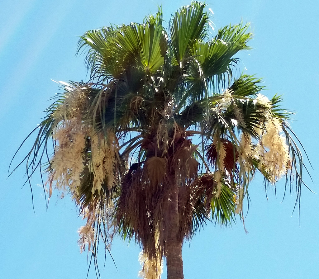 Tall Palm with Seed Pods