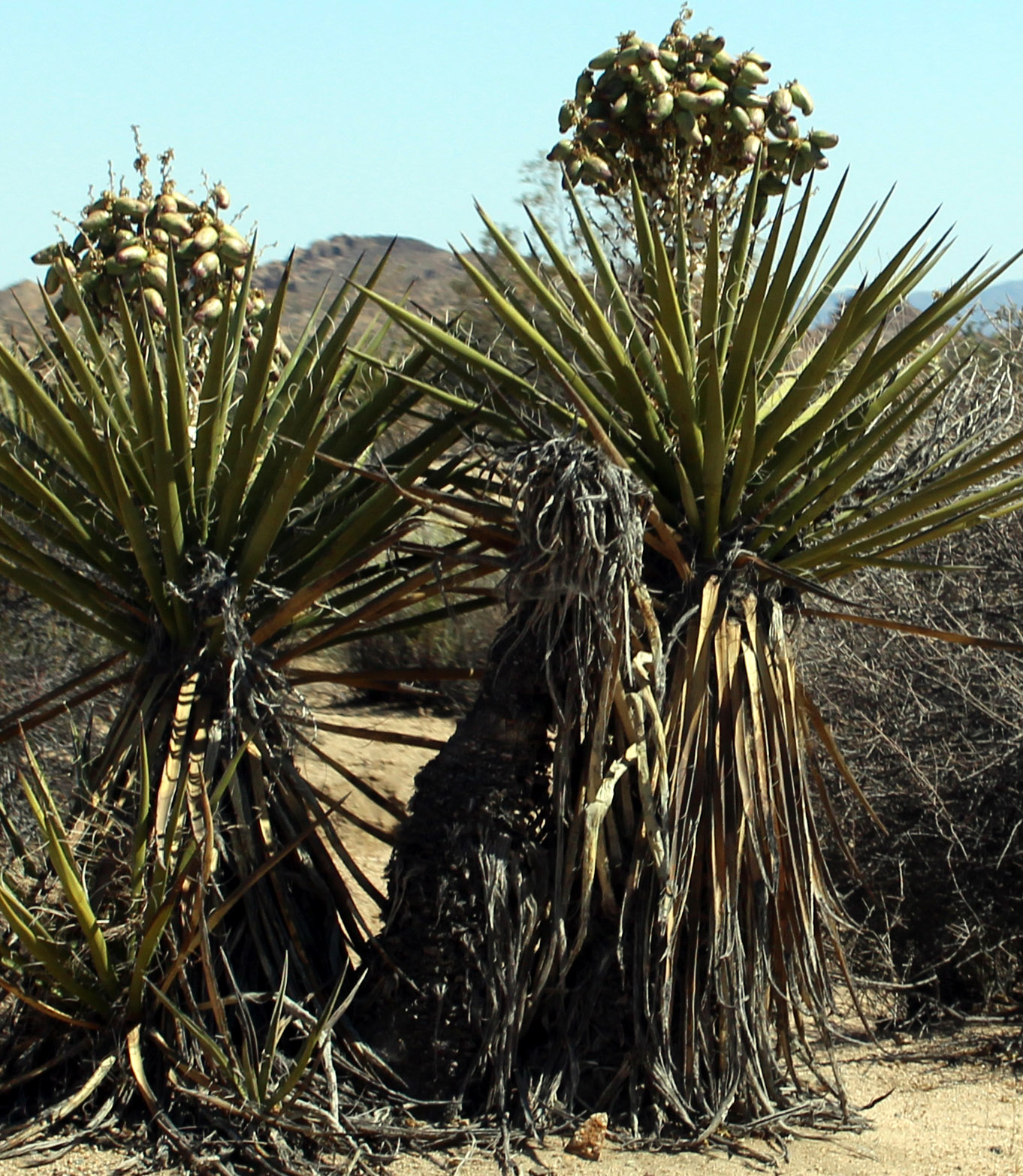 Yuccas Bloom in Cottonwood