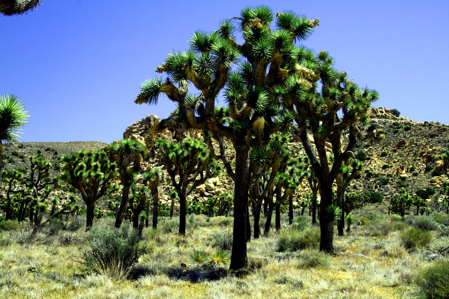 When you see many Joshua Trees...